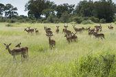 Group impala kruger national park — Stock Photo