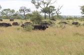 Group buffalo — Stock Photo