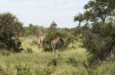 Giraffes in krugerpark — Stock Photo