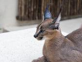 Lynx wild cat in africa — Stock Photo