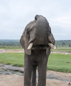 Big elephant in kruger park — Stock Photo
