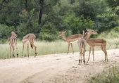Group impala — Stock Photo