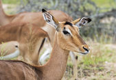 Female impala — Stock Photo