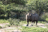 Black rhino at the kruger park — Stock Photo