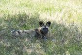 African wild dog — Stock Photo