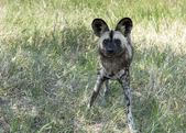 African wild dog standing and staring  in wild life safari park  — Stock Photo