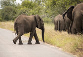 Young elephant walking to the group — Stock Photo