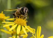 Makro för bi på gul blomma — Stockfoto