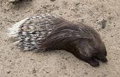 Wild porcupine   — Foto Stock