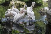 Gruppo di pellicani — Foto Stock