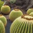 Cactus plants on Lanzarote - 