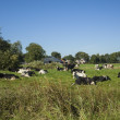 Dutch landscape with cows — Stock Photo
