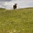 Cow on a meadow. - Stock Photo