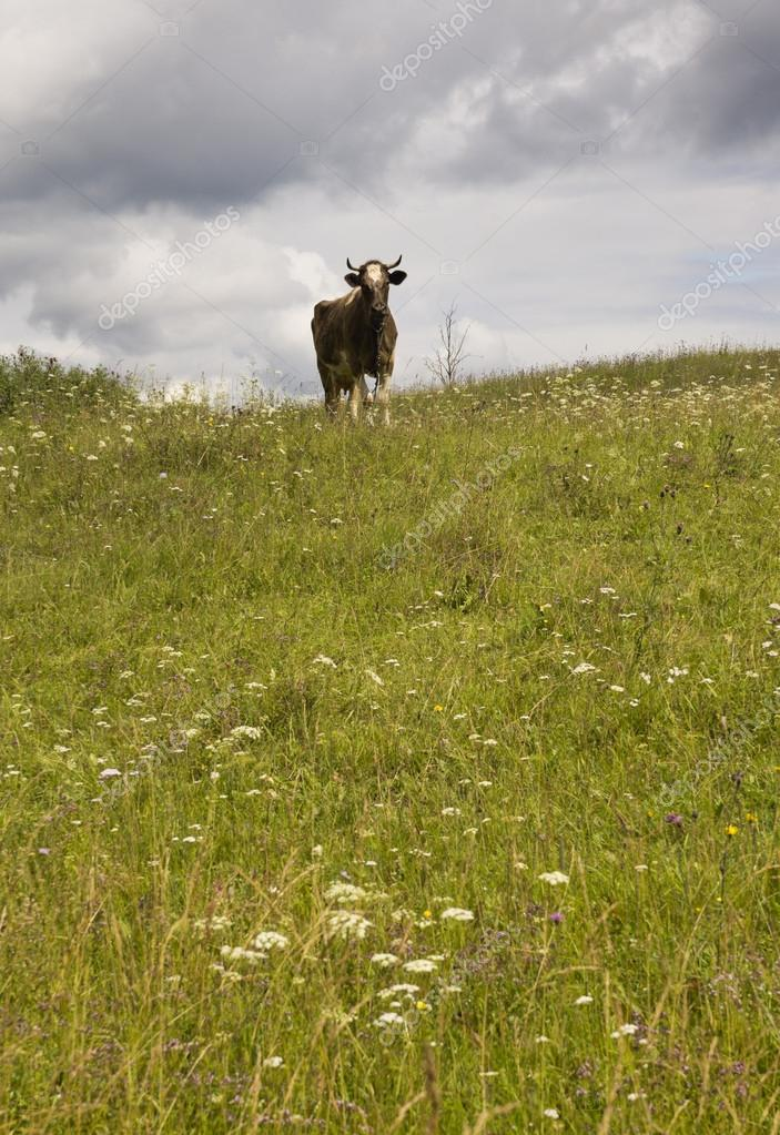 Cow on a meadow. — Stock Photo #12268034