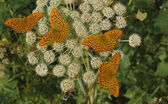 Butterflies wood perlamutrovka (Argynnis paphia) — Photo