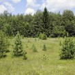 Stock Photo: Small fir-trees on the brink of the wood.