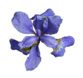 Iris, it is isolated on a white background. — Stock Photo