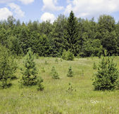 Small fir-trees on the brink of the wood. — Stock Photo
