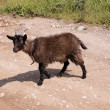 Goat at road. - Stock Photo