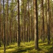 Pine wood. - Stock Photo