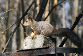Squirrel. — Foto de Stock