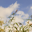 Stock Photo: Reed against sky.