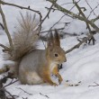The squirrel on snow — Stock Photo