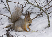 The squirrel on snow — Foto Stock