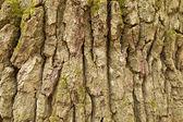 Textura de casca de carvalho — Foto Stock