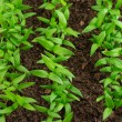 Pepper seedlings — Stock Photo
