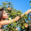 Woman in pear garden — Stock Photo