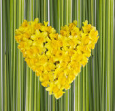 Daffodils heart — Stock Photo