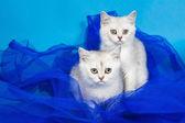British cats — Stok fotoğraf