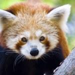 Постер, плакат: Red panda