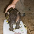 Pygmy hippo baby — Stock Photo