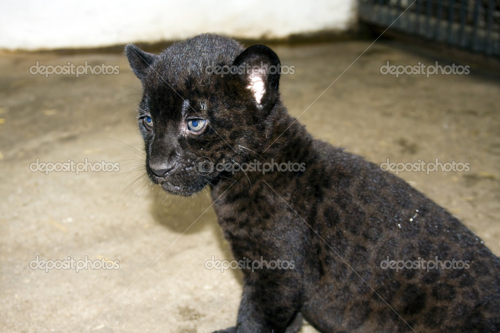 Jaguar With Cub Photo as well Whos Afraid Of The Big Bad Beautiful Wolf 56 Pics also 278033 as well Black Jaguar Cubs besides Baby Jaguar. on newborn jaguar cubs
