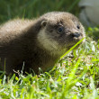 Orphaned otter baby - Stock Photo