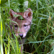 Постер, плакат: Wolf puppy in the grass