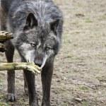 Black wolf — Stock Photo
