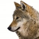 Gray wolf — Stock Photo #20588471