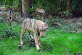 Un lobo gris europeo amistoso — Foto de Stock