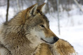 Grijze wolf in de winter — Stockfoto