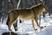 Gray wolf in winter — Stock Photo
