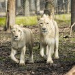 White lions — Stock Photo #21300829
