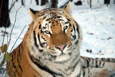 Amur tiger in winter — Stock Photo