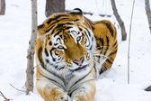 Siberische tijger eet — Stockfoto