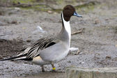 Pintail — Stock Photo