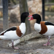 common shelduck — Stock Photo