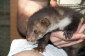 A stone marten baby in hand — Stock Photo