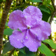 Flower of brunfelsia — Stock Photo